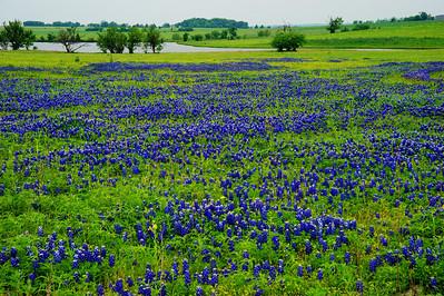 Field_of_Bluebonnets