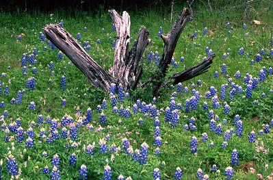 Cedar Stump in Blue....was taken in Blanco County, TX.