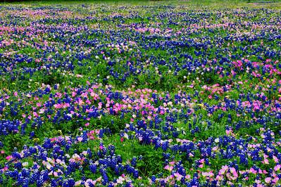 Field-of-Primrose&Bluebonnets
