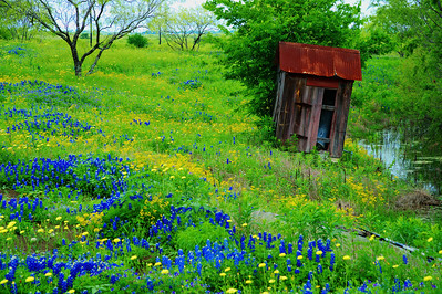 Texas bluebonnets and old outhouse