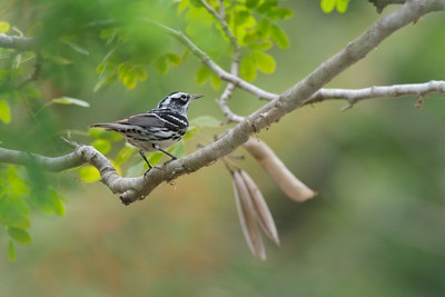 Black-and-white Warbler Krenmueller Farms Grandma Trudy's Ranch Lower Rio Grande Valley TX IMG_0196