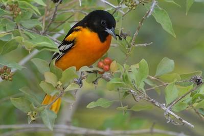Baltimore Oriole in Negrito Tree[April; Krenmueller Farms, Lower Rio Grande Valley, Texas]