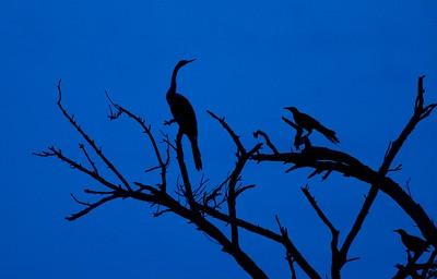 Anhinga blue silhouette [April; Krenmueller Farms, Lower Rio Grande Valley, Texas]