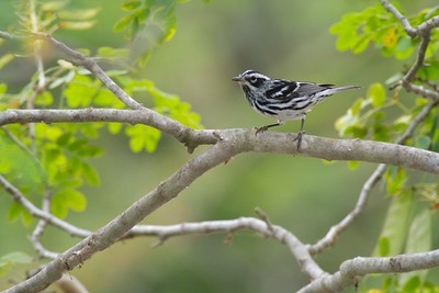 Black-and-white Warbler Krenmueller Farms Grandma Trudy's Ranch Lower Rio Grande Valley TX IMG_0195
