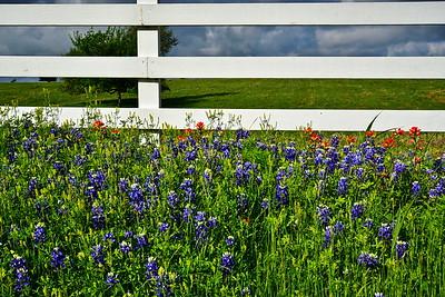 03222017_Washington_County_Bluebonnets_White-fence_750_1332