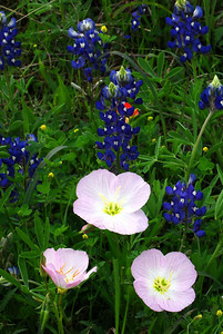 Pink Evening Primroses with Bluebonnets