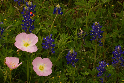 Pink-evening Primeroses with Bluebonnets