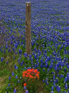 Bluebonnets along a fence on Highway 105