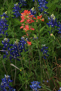Paintbrush with Bluebonnets