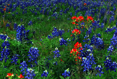 Paintbrushes among the Bluebonnets