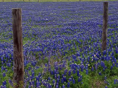 Bluebonnets along a fence on Highway 105
