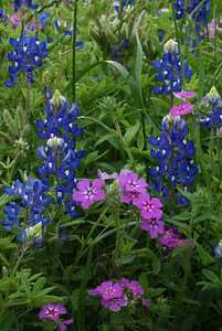 Bluebonnets and Phlox