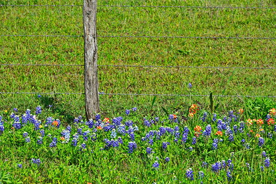 04032017_Whitehall_Bluebonnets_&_Fence_750_1534
