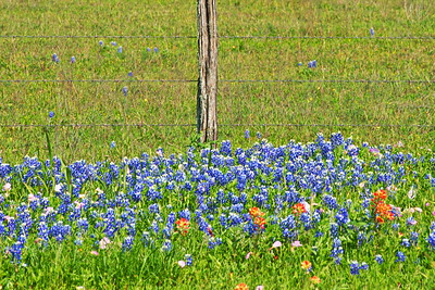 04032017_Whitehall_Bluebonnets_&_Fence_750_1535