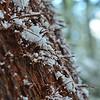 Corn Snow on Red Cedar