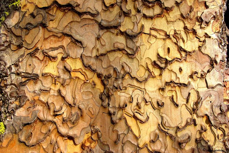 Ponderosa Pine ~ Pinus ponderosa