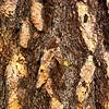 Poderosa Pine ~ Pinus poderosa