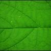 Thimbleberry Leaf ~ Rubus parviflorus