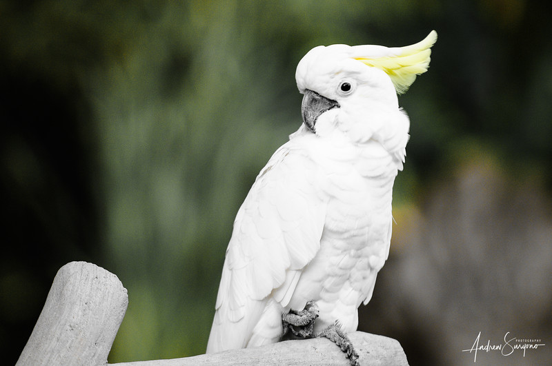 White Cockatoo in Bali Bird Park