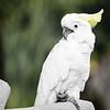 White Cockatoo in Bali Bird Park