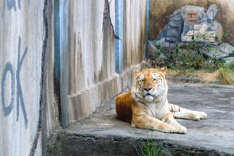 Sleepy Sumatran Tiger at Batu Secret Zoo