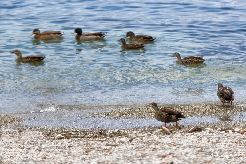 QTOWN06 - The Duck Commander