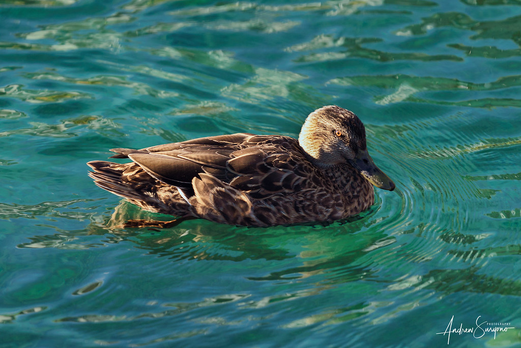 QTOWN10 - Curious Duck