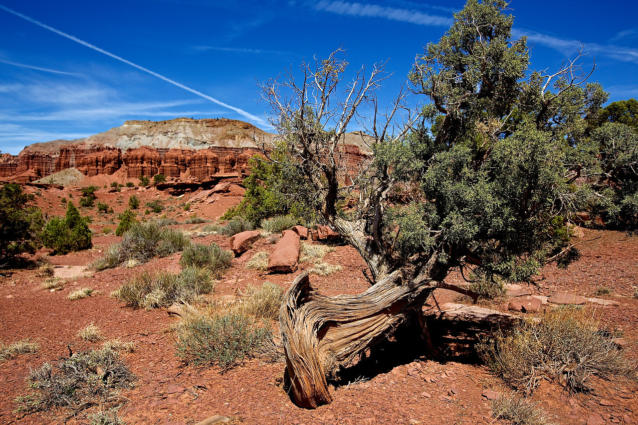 Ancient Tree.  Goose Neck Lookout.  Capitol Reef National Park, Utah