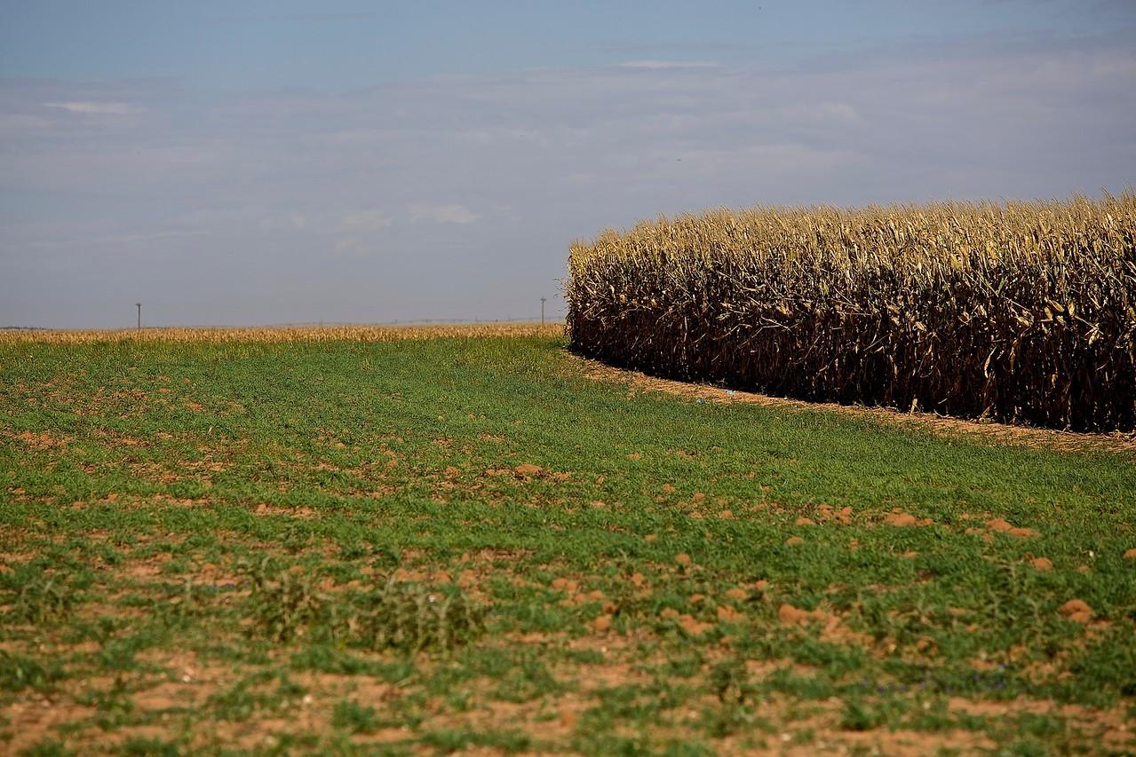 Corn Field, West Texas