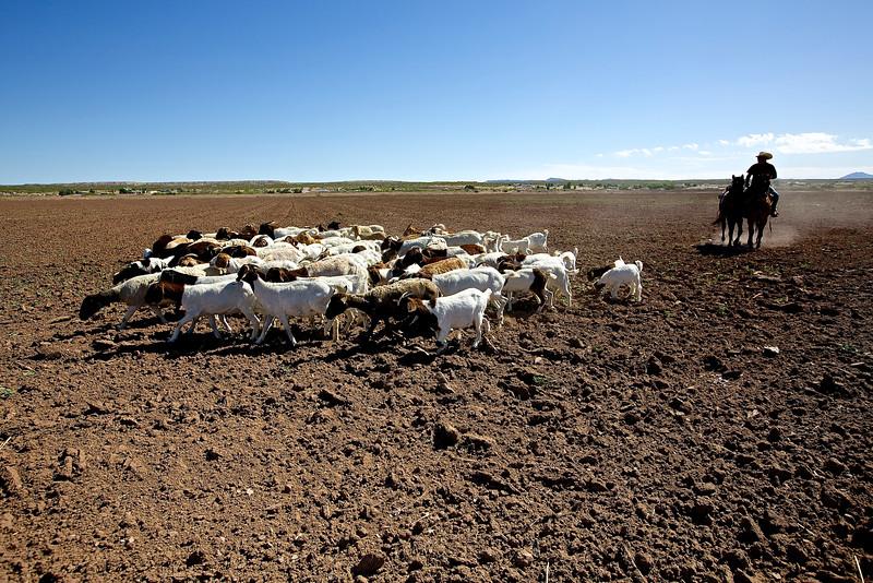 Vaquero With Sheep.  Hwy 2, Socorro, Texas