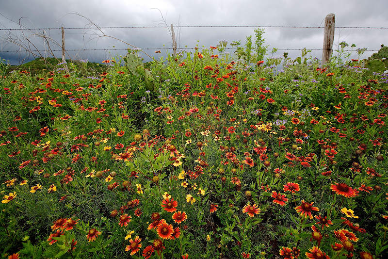 Roadside Flowers #4.  Near Llano, Texas, Hwy 71