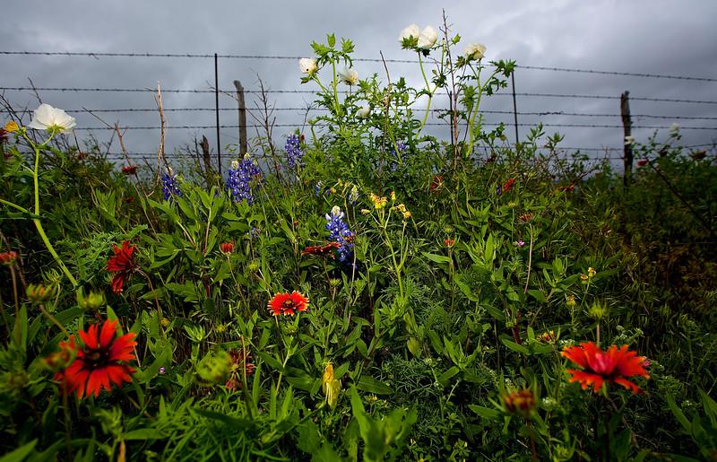 Roadside Flowers #3.  Near Llano, Texas, Hwy 71