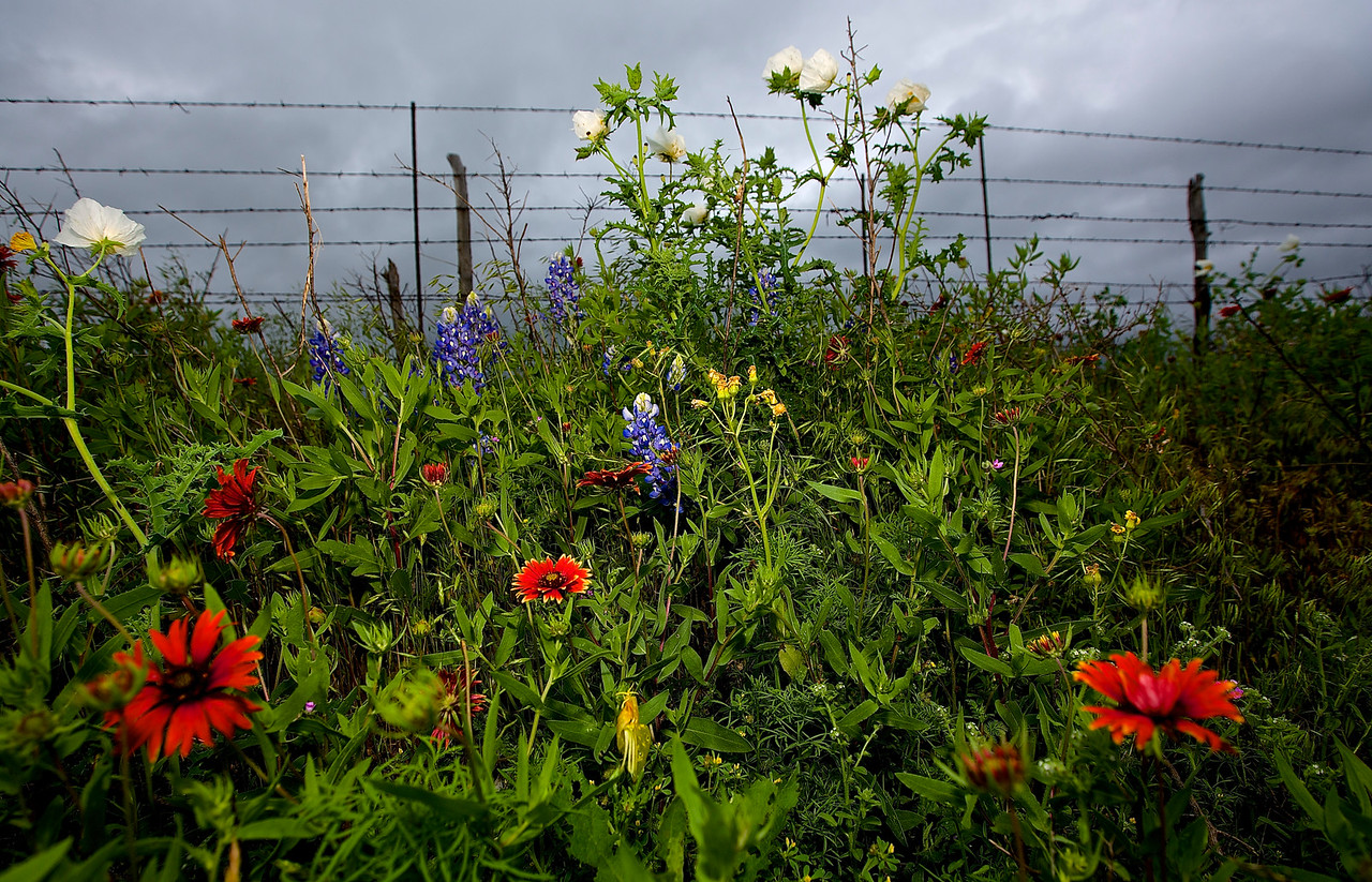 Roadside Flowers #3.  Near Llano, Texas, Hwy 71