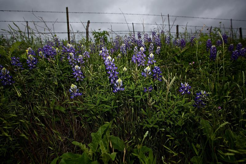 Roadside Flowers #2.  Near Llano, Texas, Hwy 71