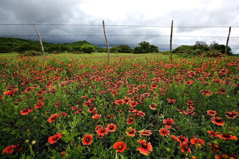 Roadside Flowers #1.  Near Llano, Texas, Hwy 71