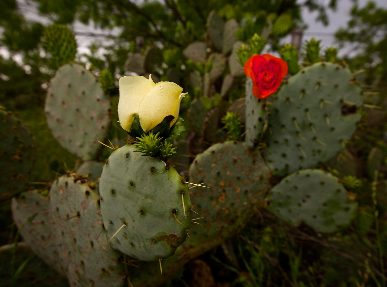 Cactus Rose #3.  Near Llano, Texas, Hwy 71