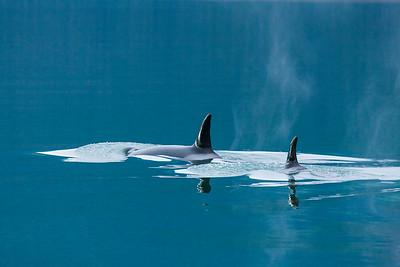 Orca pod swimming in calm waters, Alaska.