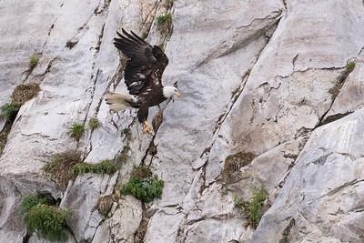 Bald Eagle preying on nest.