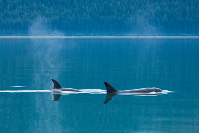 Orca pod swimming in calm waters, Alaska.