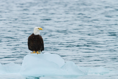 Bald Eagle perched on a floating iceberg, Alaska.