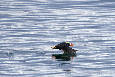 Tuted Puffin Take-off