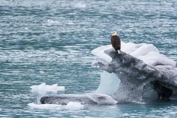 Bald Eagle on iceberg, Alaska.