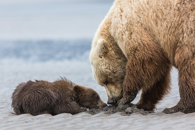 Clamming grizzly bears, Alaska.