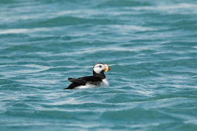 Horned Puffin Floating on Blue Water