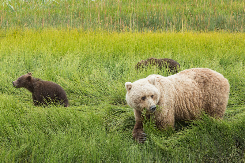 A family of grizzly bears eating sedges in a meadow.