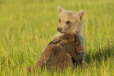 Bear Cubs at play in meadow, Alaska