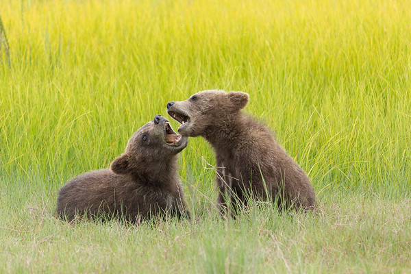 Bear Cubs Playing