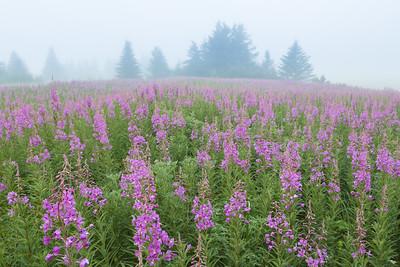 Fog and Fireweed, Alaska.