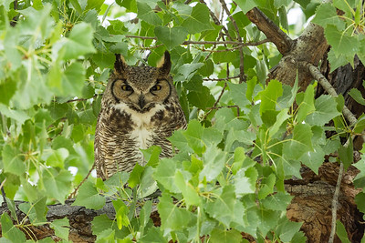 Great Horned Owl in Cottonwood