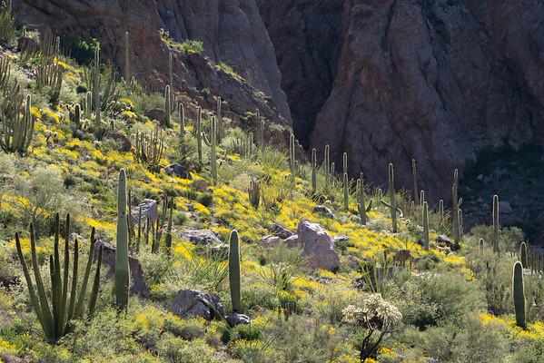 Desert Slope in Bloom